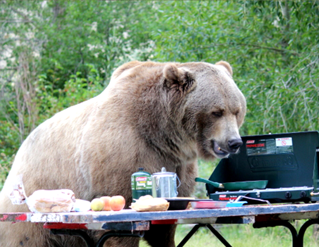 Meet The Bear Whose Job It Is To Test Quot Bearproof Quot Coolers
